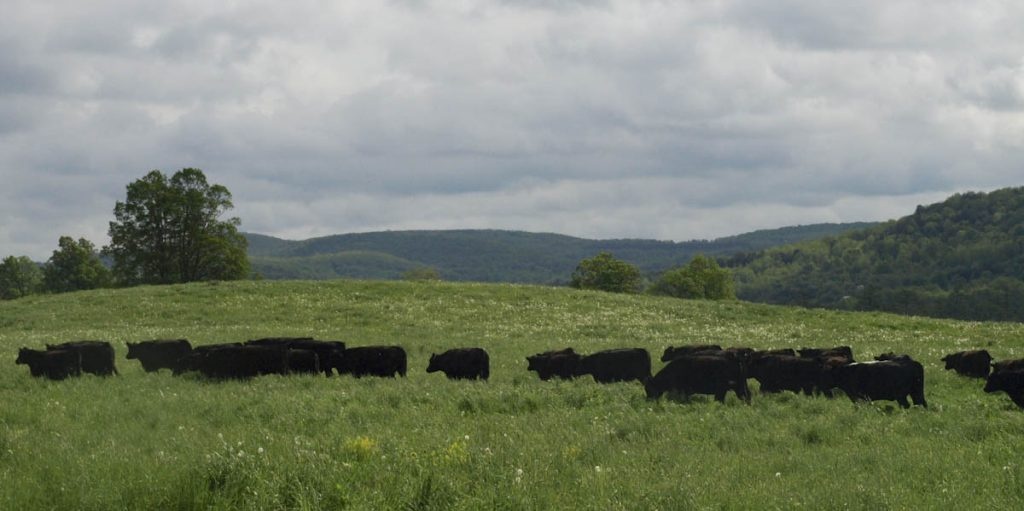 A herd of grass finished beef cows with hills behind.