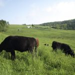 Grass fed cows grazing on a hill.