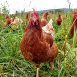 Laying hen walking through grass