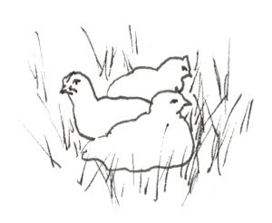 Drawing of chickens nested in grass