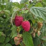 Ripe raspberries in a farm garden.